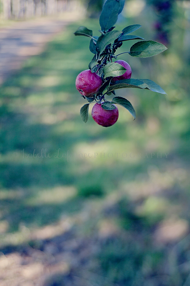 Apple picking 3