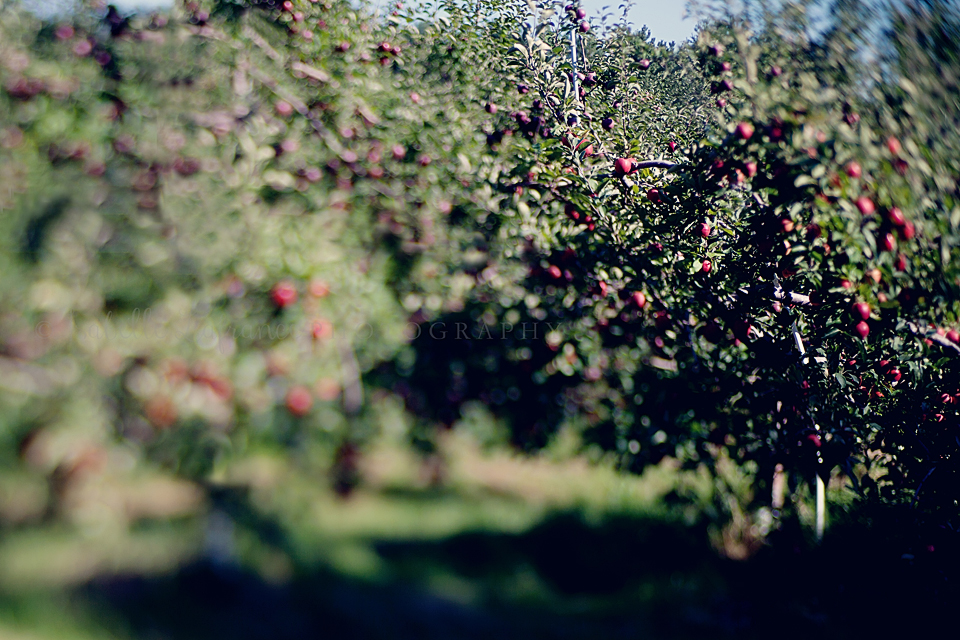 Apple picking 7