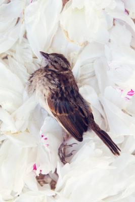 Singing sparrow 8